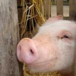grippe-porcine1